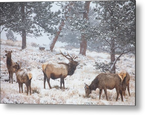 Elk Metal Print featuring the photograph Family Man by Darren White