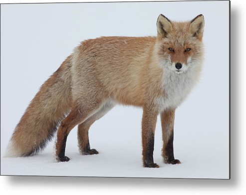 Hokkaido Metal Print featuring the photograph Fox In Snow Field by Ichiro