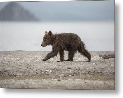 Brown Bear Metal Print featuring the photograph Full length side view of bear cub walking on lakeshore, Kurile Lake, Kamchatka Peninsula, Russia by Kit Korzun