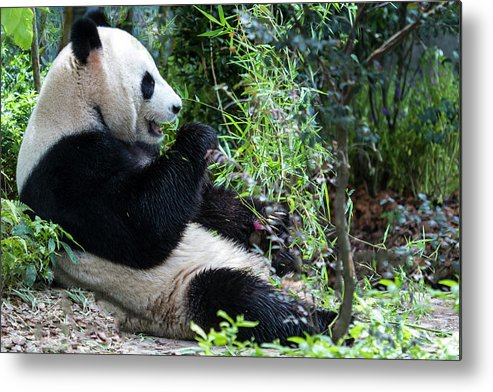 Panda Metal Print featuring the photograph Giant Panda by Manoj Shah