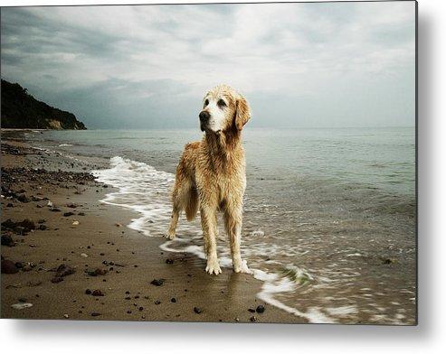 Pets Metal Print featuring the photograph Golden Retriever On Beach by Jutta Bauer