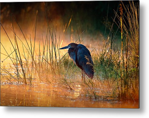 Heron Metal Print featuring the photograph Goliath heron with sunrise over misty river by Johan Swanepoel