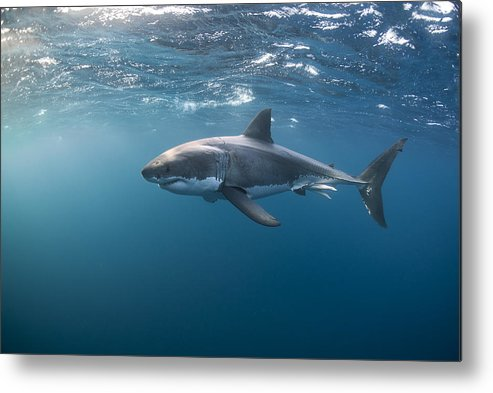 Port Lincoln Metal Print featuring the photograph Great White Shark at the Surface by Alastair Pollock Photography