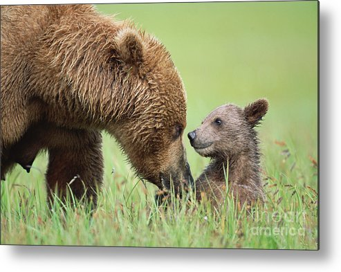 00345260 Metal Print featuring the photograph Grizzly Bear And Cub in Katmai by Yva Momatiuk John Eastcott