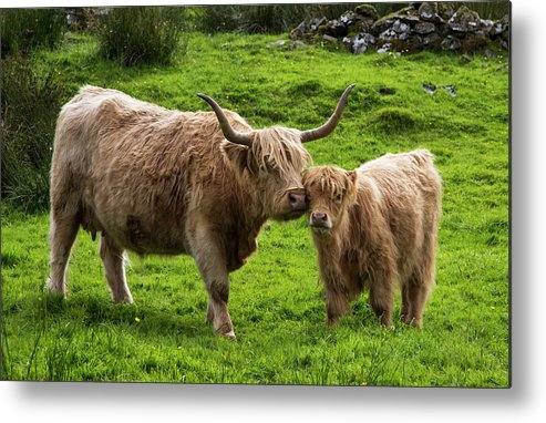 Horned Metal Print featuring the photograph Highland Cattle And Calf by John Short / Design Pics