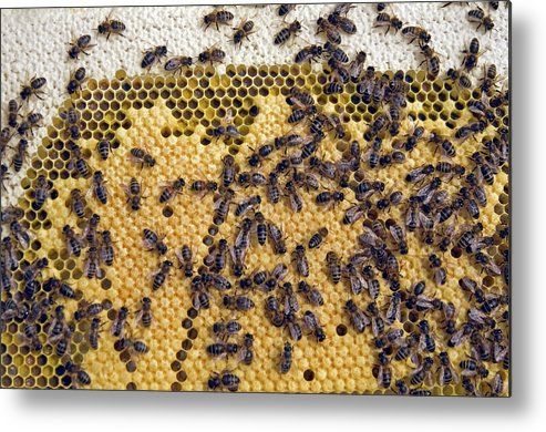 Apis Mellifera Metal Print featuring the photograph Honeybee Brood Frame by Simon Fraser/science Photo Library