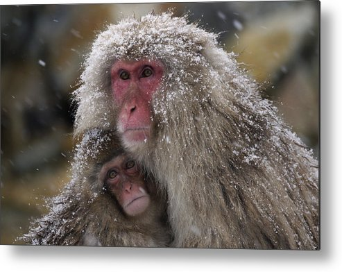 534262 Metal Print featuring the photograph Japanese Macaque And Baby In Snow Japan by Hiroya Minakuchi