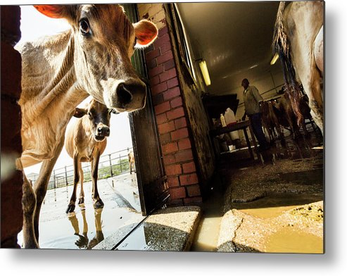Mature Adult Metal Print featuring the photograph Jersey Cows On An Organic Dairy Farm by Matt Mawson