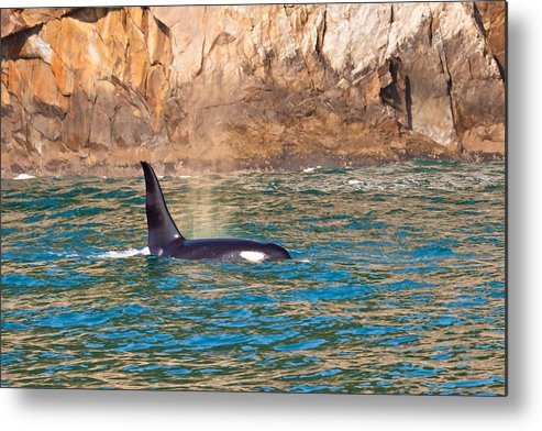 Metal Print featuring the photograph Killer Whale by Richard Jack-James