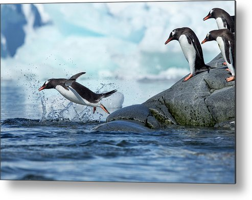 Water's Edge Metal Print featuring the photograph Leaping Gentoo Penguins, Antarctica by Paul Souders