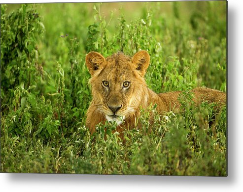 Grass Metal Print featuring the photograph Lion, Ngorongoro Conservation Area by Paul Souders