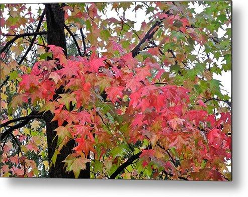 Liquidambar Metal Print featuring the photograph Liquidambar Tree in the Fall by Kirsten Giving