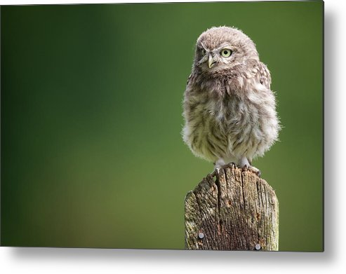Owlet Metal Print featuring the photograph Little Fuzzy by Markbridger