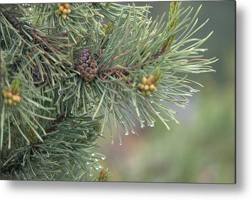 Pine Metal Print featuring the photograph Lodge Pole Pine in the Fog by Frank Madia