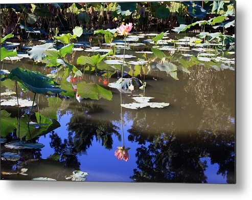 Garden Pond Metal Print featuring the photograph Lotus Reflection by John Lautermilch