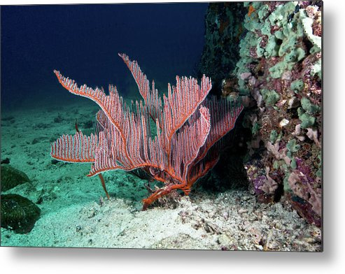 Underwater Metal Print featuring the photograph Lyre Gorgonian, Harp Coral by Gerard Soury