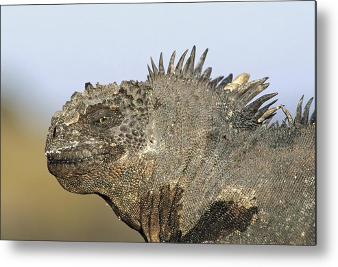 Feb0514 Metal Print featuring the photograph Marine Iguana Male Santa Cruz Island by Tui De Roy