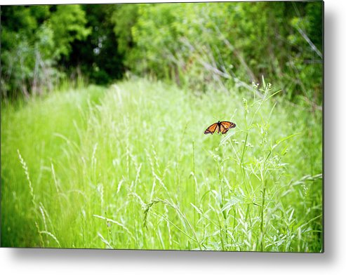 Animal Themes Metal Print featuring the photograph Monarch Butterfly In Green Field by Thorpeland Photography