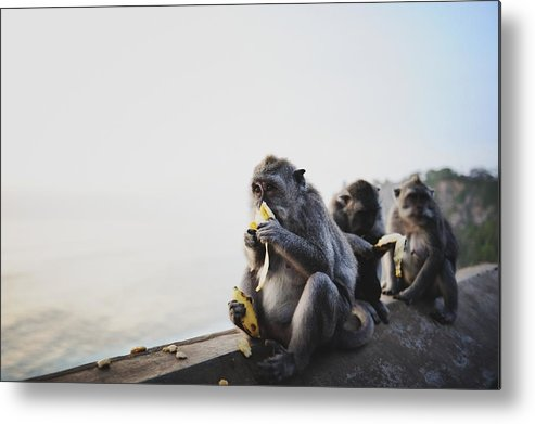 In A Row Metal Print featuring the photograph Monkeys Eating Bananas by Carlina Teteris