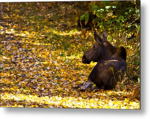 Metal Print featuring the photograph Moose by Richard Jack-James
