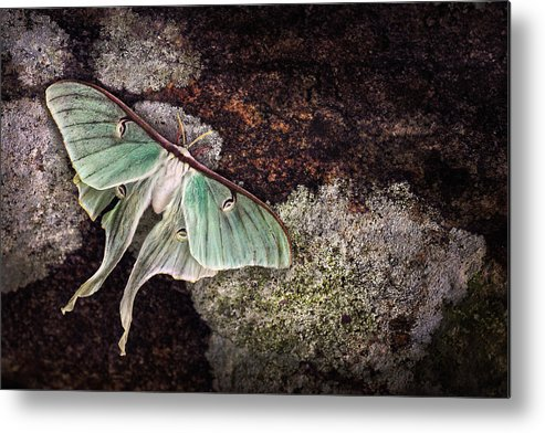 Luna Moth Metal Print featuring the photograph Mourning Luna by Damon Clarke
