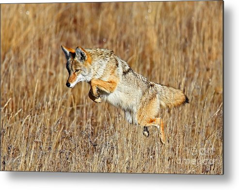 Coyote Metal Print featuring the photograph Mousing Coyote by Bill Singleton