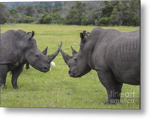 Rhino Metal Print featuring the photograph Horn To Horn by Jennifer Ludlum