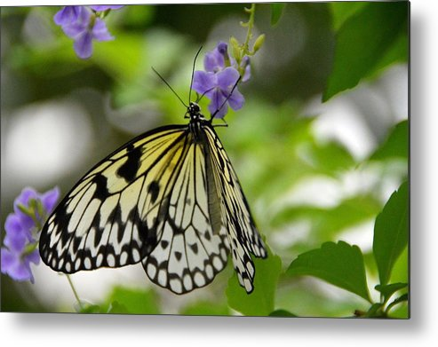 Nature Metal Print featuring the photograph Paper Kite Idea leuconoe 2 by David Earl Johnson