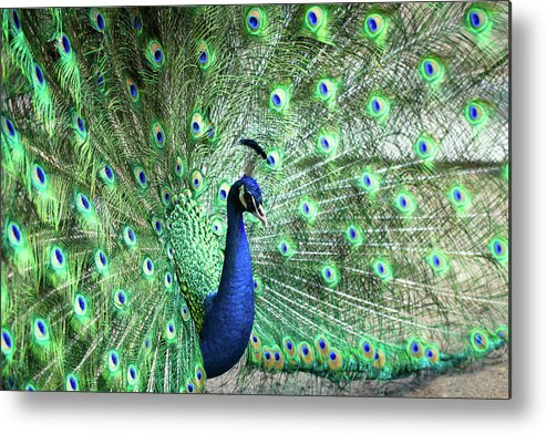 Male Animal Metal Print featuring the photograph Peacock by Pengpeng