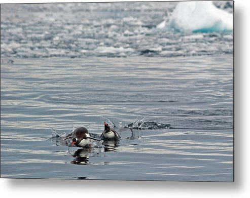 Iceberg Metal Print featuring the photograph Penguins In The Water by Jim Julien / Design Pics