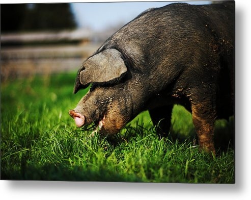 Pig Metal Print featuring the photograph Pig Eating by Jimss