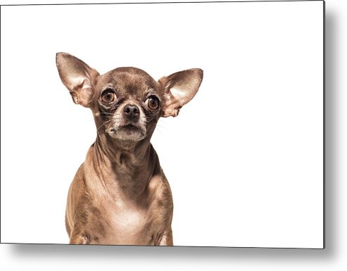Pets Metal Print featuring the photograph Portrait Of A Chocolate Chihuahua - The by Amandafoundation.org