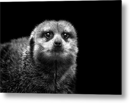 Alertness Metal Print featuring the photograph Portrait Of Meerkat by Malcolm Macgregor