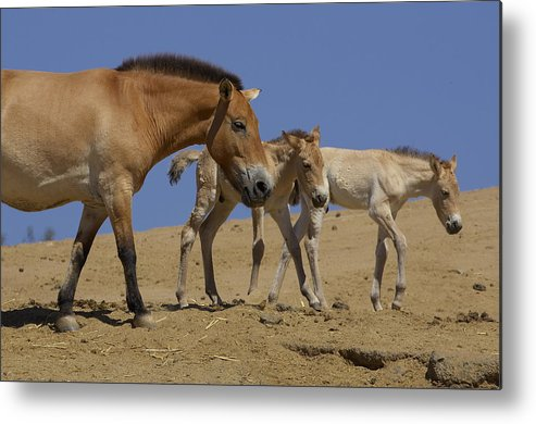 Feb0514 Metal Print featuring the photograph Przewalskis Horse With Two Foals by San Diego Zoo
