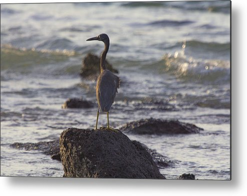 Reef Egret Metal Print featuring the photograph Reef Egret by Douglas Barnard