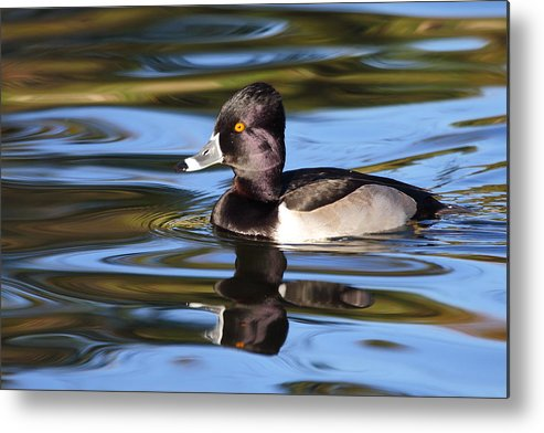 Ring-necked Duck Metal Print featuring the photograph Rings around Ring-necked Duck by Andrew McInnes