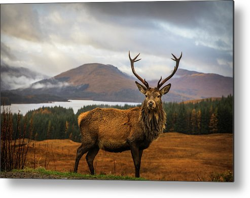 Stag Metal Print featuring the photograph Scottish Stag by Adrian Popan