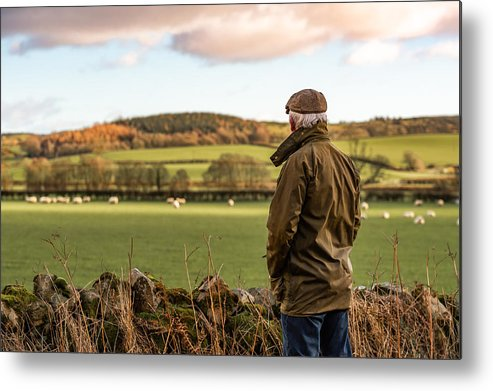 Working Metal Print featuring the photograph Senior man looking at field with sheep by JohnFScott