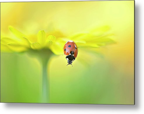Buckinghamshire Metal Print featuring the photograph Seven Spot Ladybird On Yellow Flower by Jacky Parker Photography
