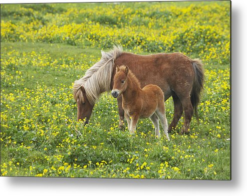 Flpa Metal Print featuring the photograph Shetland Pony Foal In Marsh Marigold by Bill Coster