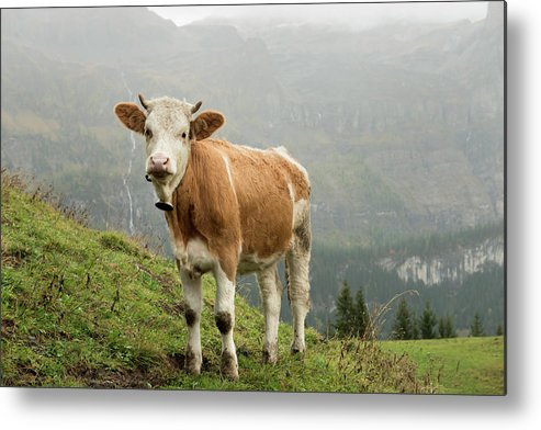 Scenics Metal Print featuring the photograph Simmental Cow On Alp In Bernese by Boogich