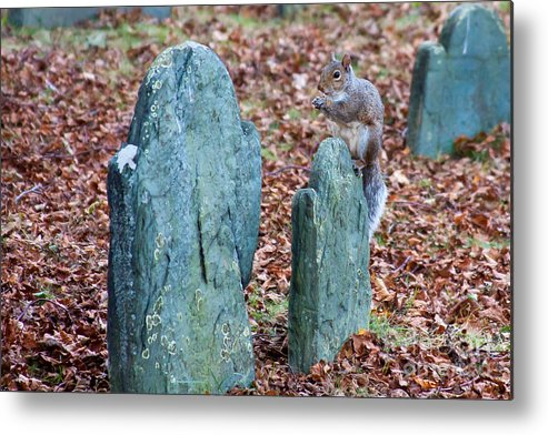 Nature Metal Print featuring the photograph Squirrel at Burial Hill by Wayne Valler