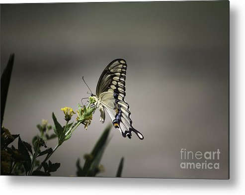 A Little Gem That I Was Able To Capture This Past Summer. Metal Print featuring the photograph Swallowtail Butterfly by Linda Ebarb