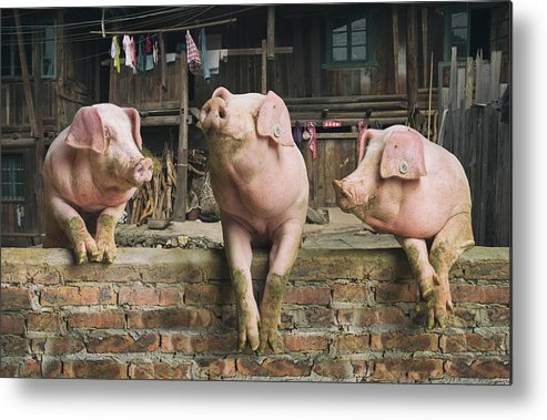 Pig Metal Print featuring the photograph Three Pigs Having A Chat In A Remote by Mediaproduction