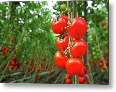 Agricultural Building Metal Print featuring the photograph Tomato Greenhouse by Sjo