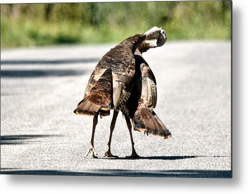 Turkey Metal Print featuring the photograph Turkey Fight by Cheryl Baxter