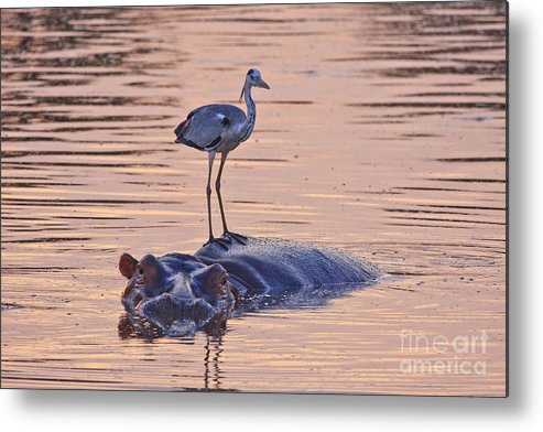 Hippo Metal Print featuring the photograph Want A Ride by Jennifer Ludlum