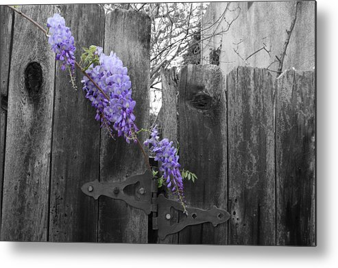 Landscape Metal Print featuring the photograph Wisteria by Dylan Punke