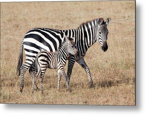 Kenya Metal Print featuring the photograph Zebra With Young Foal, Masai Mara by Angelika