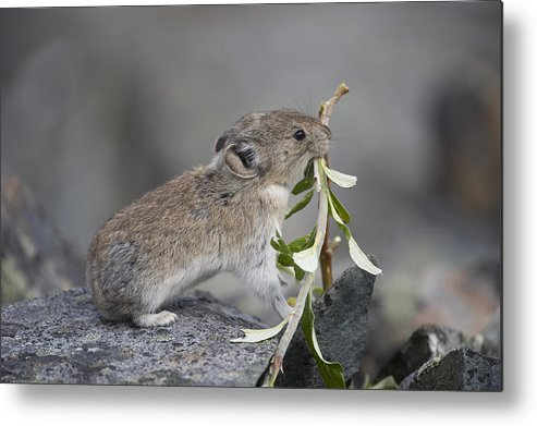 Mp Metal Print featuring the photograph American Pika by Michael Quinton
